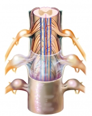 Spinal Cord Layers